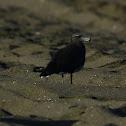 Sea Gull - Sooty Gull