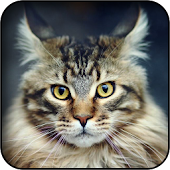 Maine Coon Cat Wallpapers