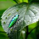 Metallic Green Boarer beetle