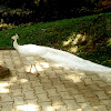 White Peacock, Leucistic Indian Peafowl