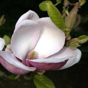 Magnificent Magnolia by Bill Waterman - Flowers Single Flower ( single flower, white, pink, magnolia, flower,  )