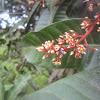 Borneo Dwarf Bee
