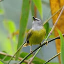 Yellow Bellied Warbler