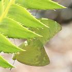 Common or Lemon Migrant