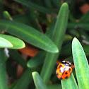 Common Australian Lady Beetle