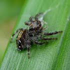 Brown Jumping Spider