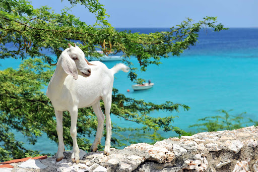 Curacao-nature-goat - A goat is framed by the turquoise waters on Curacao.
