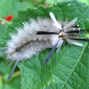 Banded Tussock Caterpillar