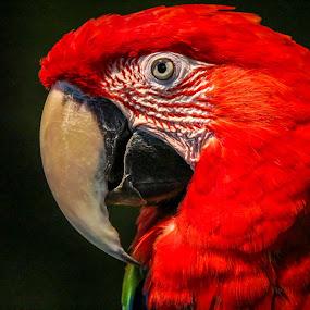 Redhead Macaw by Leah N - Animals Birds (  )