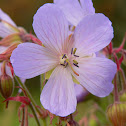 wild geranium/Cranesbill