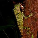 Bornean angle-head lizard