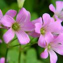 Pink Wood Sorrel