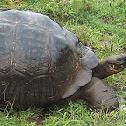 Galapagos Tortoise (Santa Cruz Subspecies)