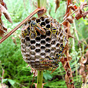 South European Paper-Wasp