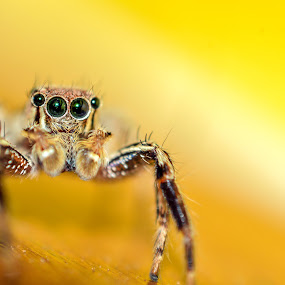 Yellow by Aravindh Ganesh - Animals Insects & Spiders ( spider, yellow, jumper,  )