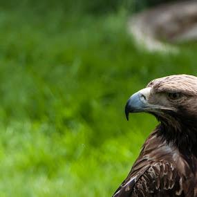 Eagle  by Ahmet AYDIN - Animals Birds ( eagle, darıca )
