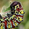 Pine tree emperor moth larva