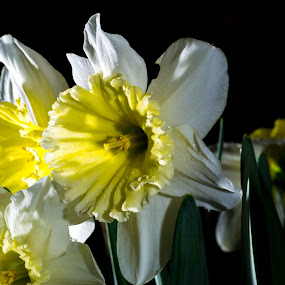 Searching for the Light by Scott Morgan - Flowers Single Flower ( daffodil, white, daffodils, yellow, flowers, light, flower,  )