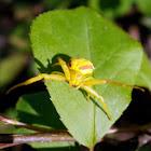 Goldenrod/Flower Crab Spider