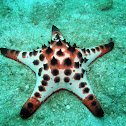 Chocolate Chip Sea Star