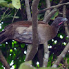 Grey-headed Chachalaca - Paisana