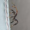 Leaf-footed Bug, nymph