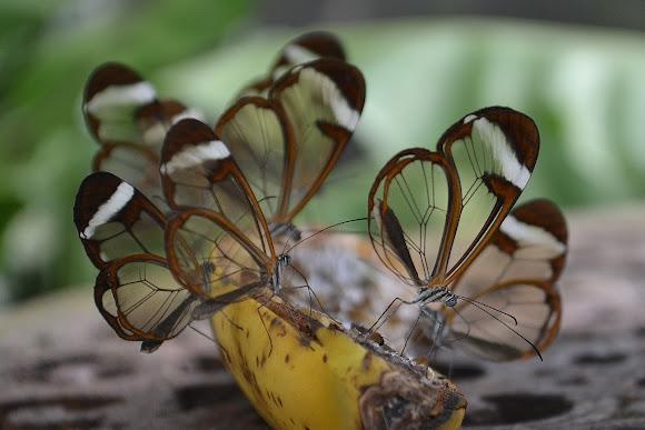 Glasswinged Butterfly Project Noah