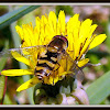 Syrphid Fly (hoverfly)