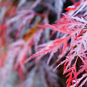 Japanese maple by Iggy - Nature Up Close Trees & Bushes ( japanese maple )