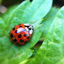 Ladybug or ladybird beetle