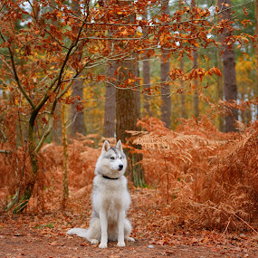 San by Paweł Prus - Animals - Dogs Portraits ( intelligent, almond, breed, canis, pull, show, harsh, sled, siberia, colour, leafs, autumn, family, icee, husky, grey, coat, sibe, forest, siberian, portrait, sitt, sitting, color, female, pet, outdoor, lupus, fall, active, ears, sibirsky, brown, dense, dog, nose, shaped )