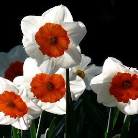 Daffs by Steve Cooke - Flowers Flower Gardens (  )