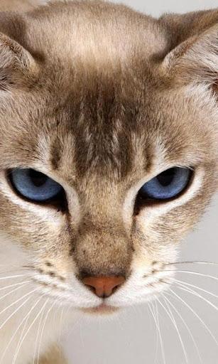 アビシニアン猫の壁紙