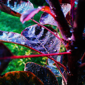 Cotinus coggygria 'Royal Purple' by Lara Mérnökasszony - Nature Up Close Leaves & Grasses