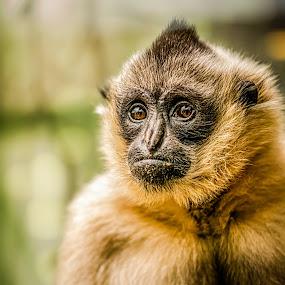 Contemplating Life by Chuck Mason - Animals Other Mammals ( monkey, animal,  )