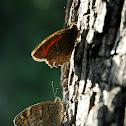 Butterfly , Πεταλούδα