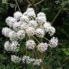 Oenante crocata (Hemlock water-dropwort