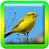 Chirping  ( Canary ) Master