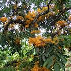 yellow ashok, yellow saraca