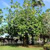 Ulu tree