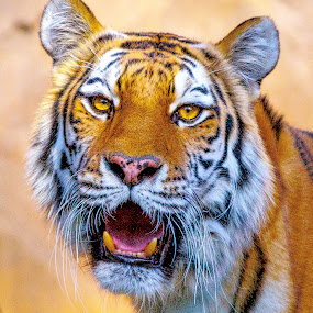 T4 by Lou Plummer - Animals Lions, Tigers & Big Cats (  )