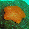 Orange cushion starfish