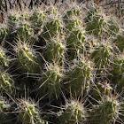 strawberry cactus or Pitaya