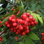 European Rowan (fruits)