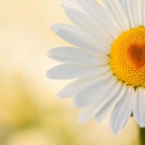 love by Alexander Kulla - Flowers Flowers in the Wild ( love, heart, nahaufnahme, wiese, natur, makrofotografie, margarita, makro, nah,  )