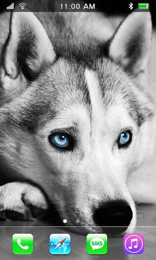 Husky Dogs live wallpaper