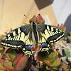 Old World Swallowtail