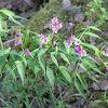 Spring vetchling or Spring pea