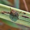Fungus weevil