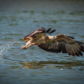 Snatch by Mahdi Hussainmiya - Animals Birds ( eagle, sharp, decisive moment, wings, action, fishing, timing, precise )